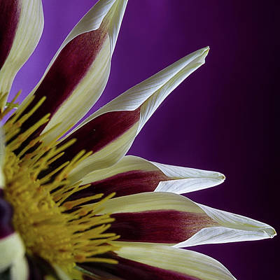 Photograph - Gazania Petals by Shirley Mitchell