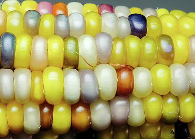 Photograph - Glass Gem Corn by Mark Dahmke