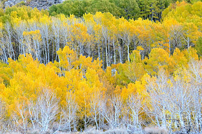 Photograph - Golden Aspens by Frank Townsley
