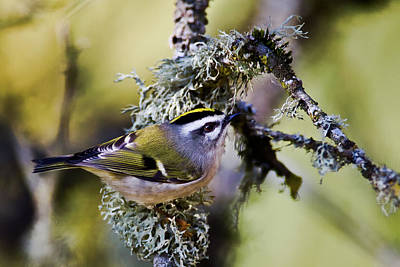 Photograph - Golden Crowned Kinglet by Craig Strand