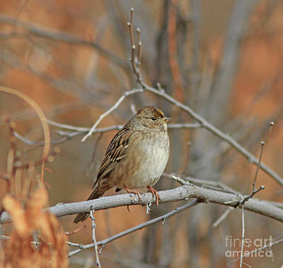 Gold Photograph - Golden-crowned Sparrow by Gary Wing