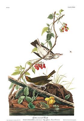 Thrush Wall Art - Painting - Golden-crowned Thrush by John James Audubon