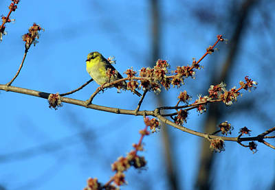 Photograph - Golden Finch by Tiffany Erdman