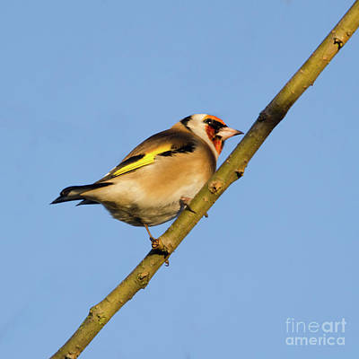 Photograph - Goldfinch by Steev Stamford