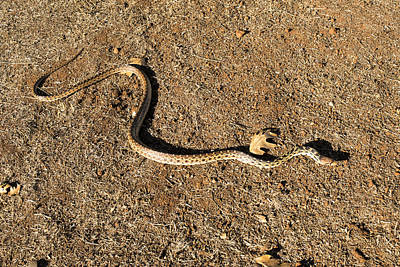 Photograph - Gopher Snake by Frank Wilson