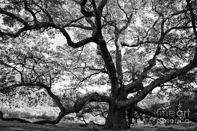 Granby Oak Art Print by HD Connelly