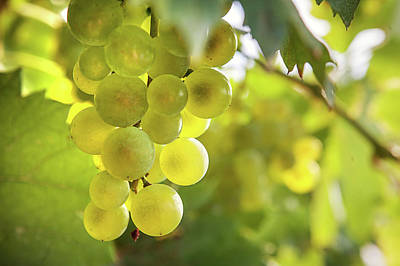 Photograph - Grapes Filled With Sun by Jenny Rainbow