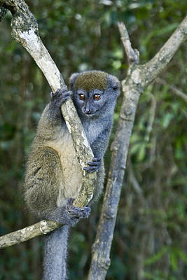 Photograph - Gray Bamboo Lemur by Michele Burgess