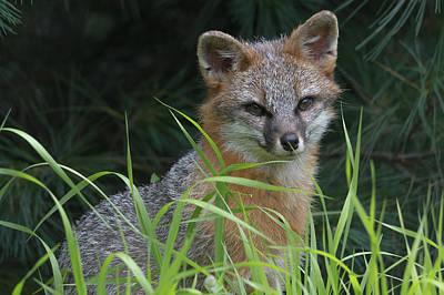 Gray Fox In The Grass Art Print