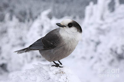 Nature Study Photograph - Gray Jay - White Mountains New Hampshire Usa by Erin Paul Donovan