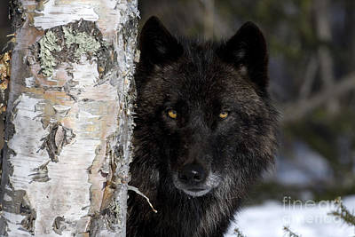 Wolves Photograph - Gray Wolf by Jean-Louis Klein & Marie-Luce Hubert