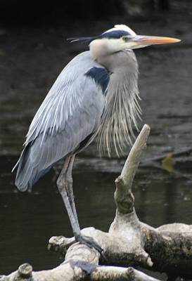 Photograph - Great Blue by Christopher Kirby