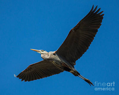 Owls - Great Blue Heron by MyWildlifeLife Dot Com