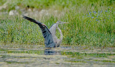 Great Blue Heron Hunting In The Pond Art Print