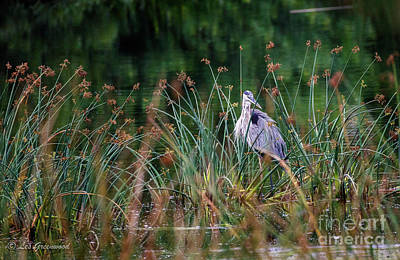 Photograph - Great Blue Heron  by Les Greenwood