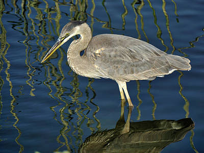 Photograph - Great Blue Heron by Richard Stephen