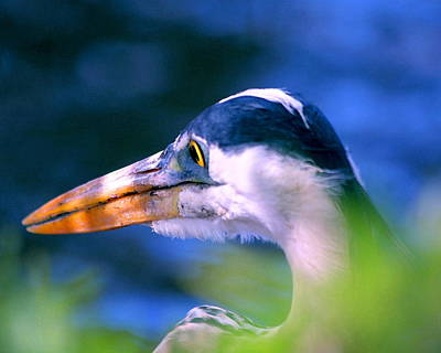 Sebastian Florida Photograph - Great Blue Heron by W Gilroy