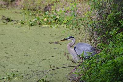 Photograph - Great Blue Heron by Warren Thompson