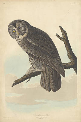 Painting - Great Cinereous Owl by John James Audubon