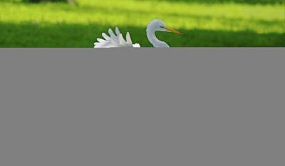Photograph - Great Egret Prepared For Landing by Roy Williams