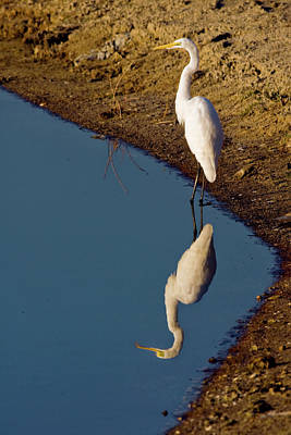 Photograph - Great Egret Reflected by Sally Weigand