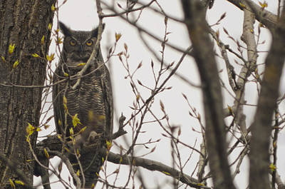 500mm Photograph - Great Horned Owl by Matt Steffen