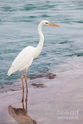 Great White Heron Print by Elena Elisseeva