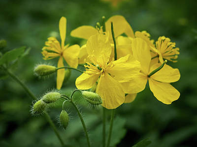 Photograph - Greater Celandine by Jouko Lehto