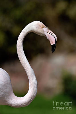 Photograph - Greater Flamingo by George Atsametakis