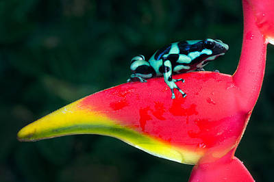Dart Frogs Photograph - Green And Black Poison Dart Frog by Panoramic Images
