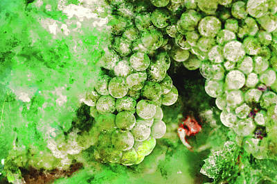 Photograph - Green Grapes Close Up In Napa Valley Ready To Be Made Into Wine by Brandon Bourdages