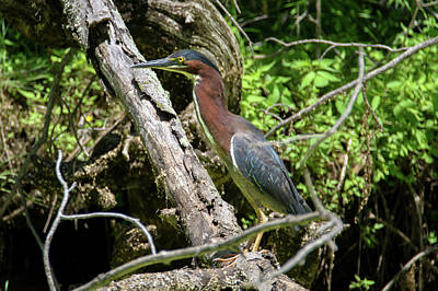 Photograph - Green Heron by Brook Burling
