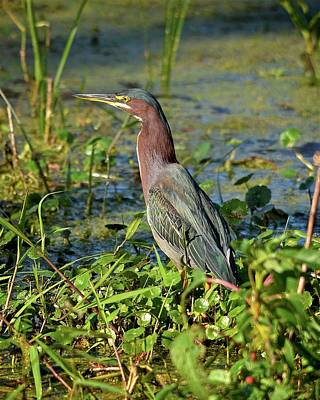 Photograph - Green Heron by Carol Bradley
