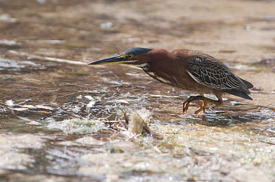 Digital Art - Green Heron In Cancun Hotel Zone  by Carol Ailles