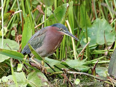 Design Turnpike Books - Green Heron in Florida Wetlands by Jill Nightingale