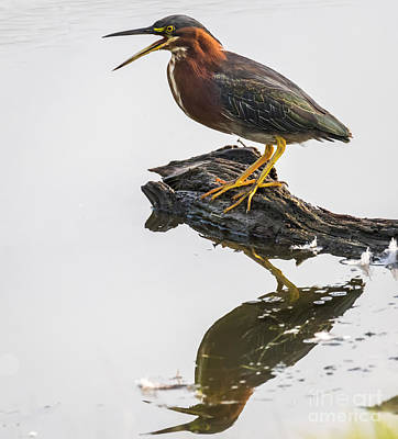 Photograph - Green Heron by Ricky L Jones