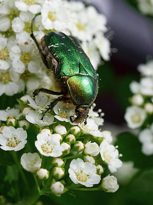 Photograph - Green Rose Chafer by Jouko Lehto