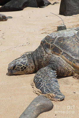 Green Sea Turtle Photograph - Green Sea Turtle With Gps by Ted Kinsman