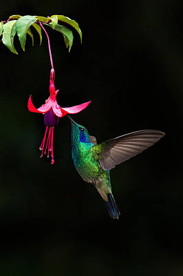 Feeding Photograph - Green Violetear Colibri Thalassinus by Panoramic Images