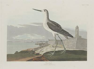 Seagull Drawing - Greenshank by Dreyer Wildlife Print Collections