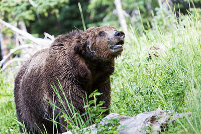 Photograph - Grizzly Bear by Michael Chatt