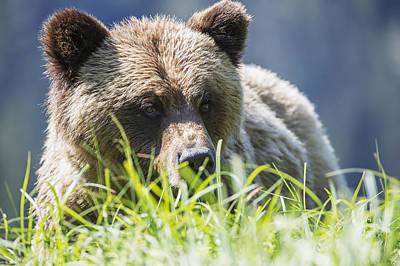 Prince Rupert Photograph - Grizzly Bear  Ursus Arctos Horribilis by Robert Postma