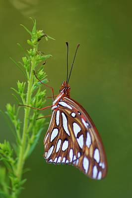Photograph - Gulf Fritillary Butterfly by Warren Thompson