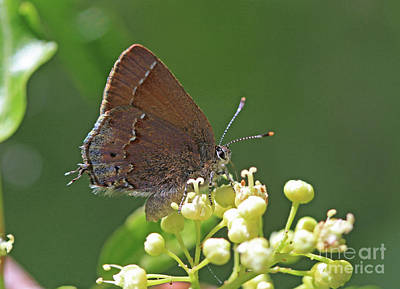 Photograph - Hairstreak Butterfly by Gary Wing