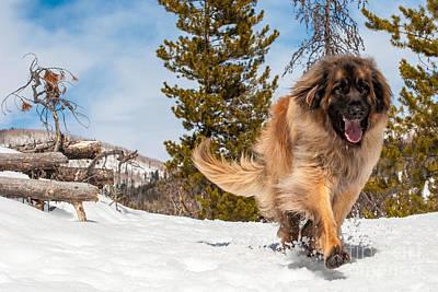 Happy Leonberger Winter Trail Running Art Print