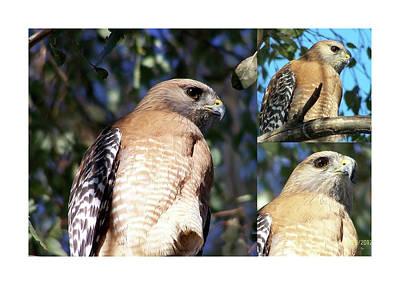 Animals Digital Art - One Young Hawk by Kathleen J Beller