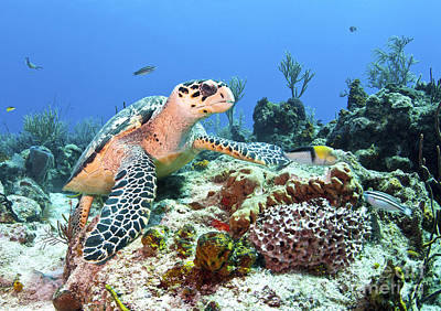 Reptiles Royalty-Free and Rights-Managed Images - Hawksbill Turtle Feeding On Sponge by Karen Doody