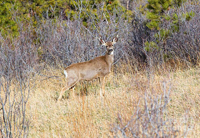 Steven Krull Royalty-Free and Rights-Managed Images - Herd of Mule Deer in the Pike National Forest Colorado by Steven Krull