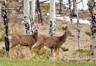 Steven Krull Royalty-Free and Rights-Managed Images - Herd of Mule Deer in the Pike National Forest by Steven Krull