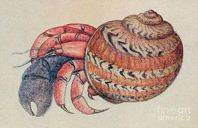 West Indies Drawing - Hermit Crab  by John White